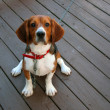 Purebred beagle — Stock Photo
