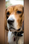 Sad Beagle — Stock Photo