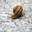 Sea Snail — Stock Photo