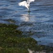 Snowy Egret — Stock Photo #8803638