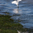 Snowy Egret — Stock Photo