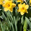 Spring Daffodils — Stock Photo