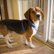 Beagle Pup — Stock Photo #8804216