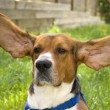 Big Ear Beagle — Stock Photo