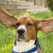 Stock Photo: Big Ear Beagle