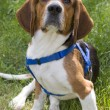 Stock Photo: Young Beagle Dog