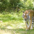 Bengal Tiger — Stock Photo #8805723