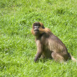 Baboon Monkey - Stock Photo