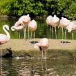 Flamingo Birds - Stock Photo