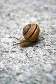 Sea Snail — Стоковое фото