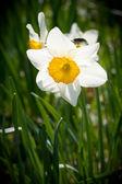 White Spring Daffodils — Stock Photo