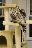 Savannah Cat — Stock Photo