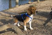 Upozornění beagle — Stock fotografie