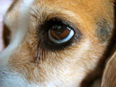 Söt beagle - makro — Stockfoto
