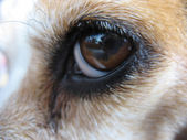 Beagle's Eye - Macro — Foto de Stock