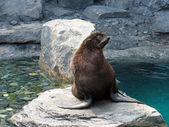 Harige zeeleeuw — Stockfoto