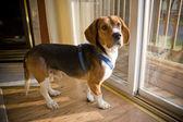 Beagle-welpen — Stockfoto