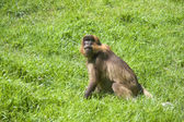 Macaco babuíno — Fotografia Stock
