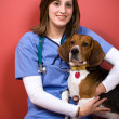 Stock Photo: Veterinarian With a Beagle