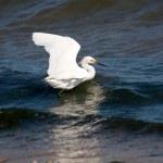 Snowy Egret — Stock Photo