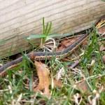 ������, ������: Garter Snake