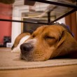Sleepy beagle — Stock Photo