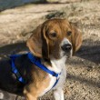 Alert beagle — Stock Photo