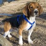 Alert beagle — Stock Photo #8946312