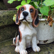 Cute beagle - Stock Photo