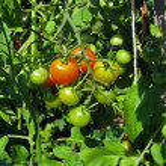 Tomato cluster — Stock Photo #8946484