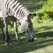 Zebra Grazing — Photo