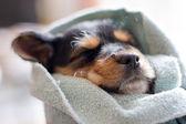 Sleeping Puppy — Stock Photo