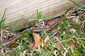 Garter Snake — Stock Photo