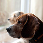 Dogs with Separation Anxiety — Stock Photo