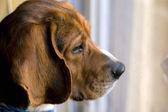 Beagle at the window — Stock Photo