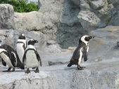 Gemiddelde pinguïns — Stockfoto