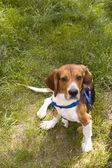 Cute Beagle Dog — Stock Photo