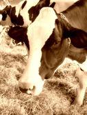 Krowa zbliżenie — Zdjęcie stockowe
