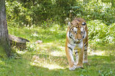 Prowling Tiger — Stock Photo