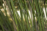Asian bambu — Stockfoto