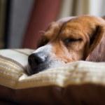 Beagle Dog Sleeping — Stock Photo #9240030