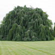 Weeping Beech Tree — Stock Photo #9240172