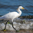 Stock Photo: Snowy Egret