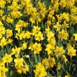 Yellow Spring Daffodils - Stock Photo