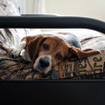 Постер, плакат: Lazy Beagle Dog Resting