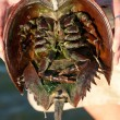 Stock Photo: Horseshoe Crab Closeup