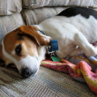 Stock Photo: Lazy beagle