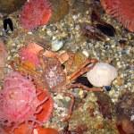 ������, ������: Crabby crab