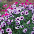 Petunia Flowers — Stock Photo #9241003