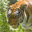Tiger — Stock Photo #9241579